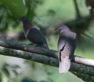 Pigeon plombé
