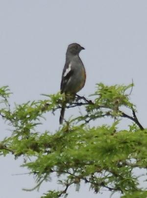 Rara du Pérou