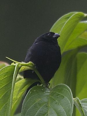 Sporophile variable