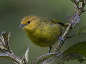 Tangara ventre jaune thlypopsis ruficeps for Oiseau ventre jaune