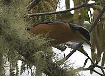 Tangara à ventre marron