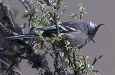 Taurillon gris