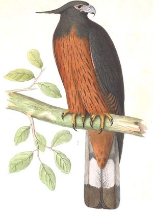 Aigle d'Isidore