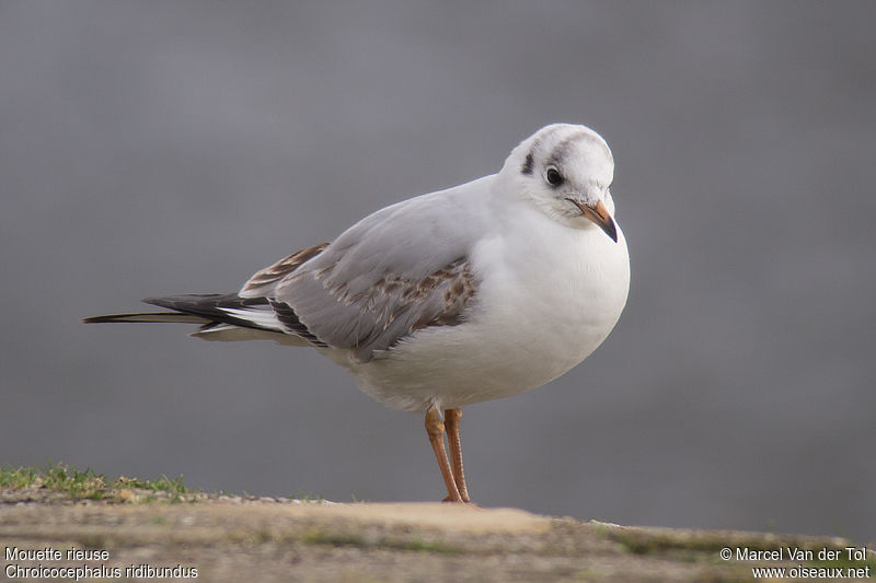 Mouette rieuse immature