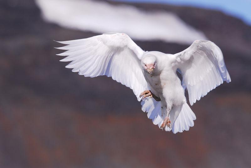 Un chionis blanc en vol