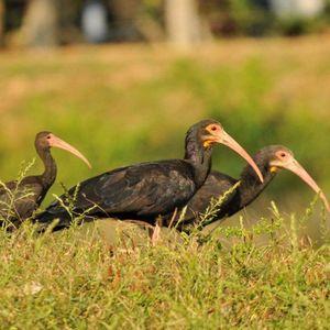 Ibis à queue pointue