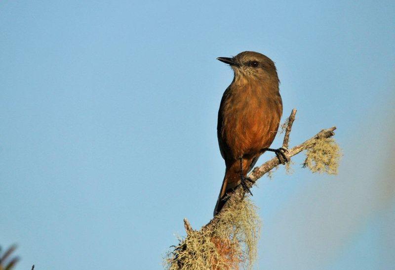 Santa marta bush tyrant myiotheretes pernix for Oiseaux de france