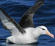 Albatros à sourcils noirs