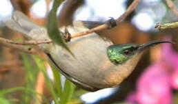 Souimanga à tête verte