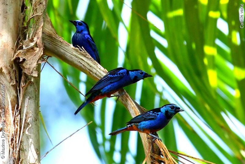Opal-rumped Tanager - ...