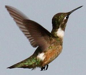 Colibri améthyste
