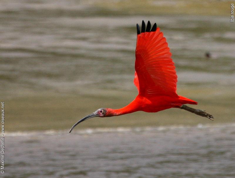 Aninimal Book: Scarlet Ibis (Eudocimus ruber) | Bird Photos | Pinterest
