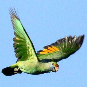 Amazone de Dufresne