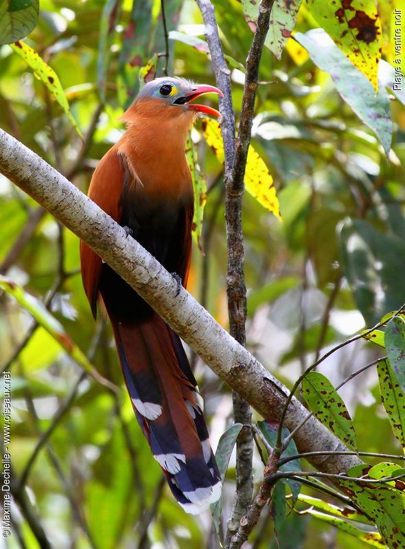 http://www.oiseaux.net/photos/maxime.dechelle/images/piaye.a.ventre.noir.maxd.4g.jpg