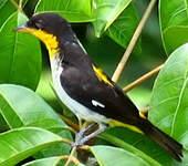 Tangara à dos jaune