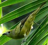 Tangara des palmiers