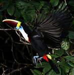 Toucan à bec rouge