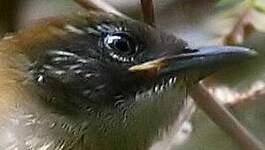 Troglodyte coraya