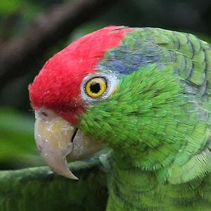 Amazone à joues vertes