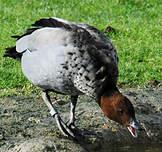 Canard à crinière