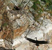 Cigogne noire