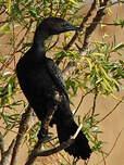 Cormoran pygmée