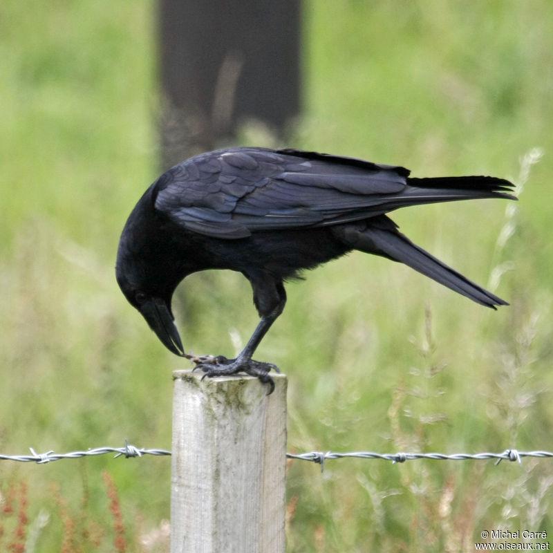 http://www.oiseaux.net/photos/michel.carre/images/corneille.noire.mica.1g.jpg