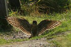 Faucon émerillon