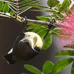 Souimanga asiatique
