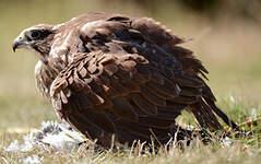 Faucon sacre