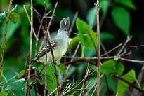 Élénie à ventre jaune