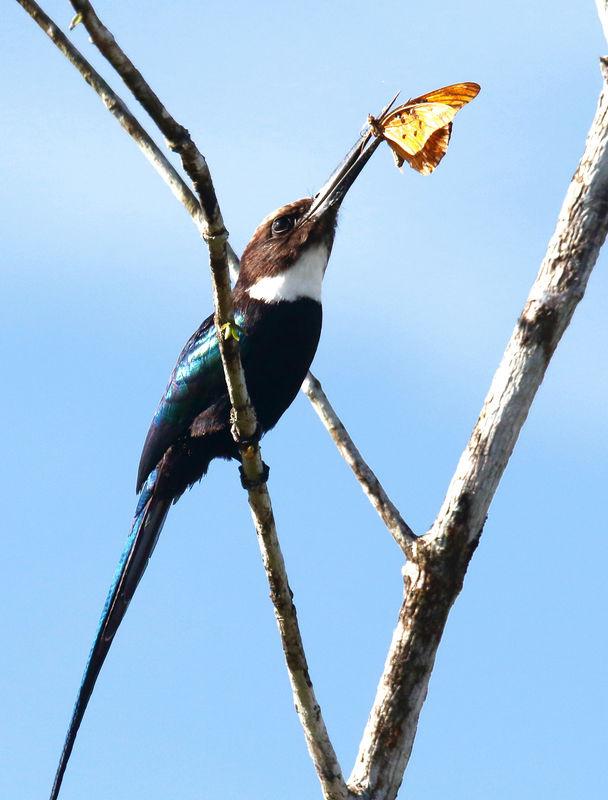 Photos des oiseaux du monde page 0 for Oiseau longue queue ventre jaune