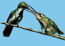 Mango à cravate verte
