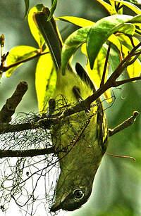 Platyrhynque jaune-olive