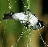 Sporophile à ailes blanches