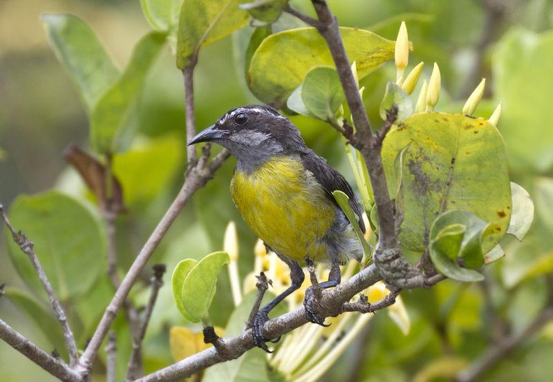 Pic a ventre jaune for Oiseau ventre jaune