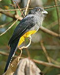 Trogon à queue blanche