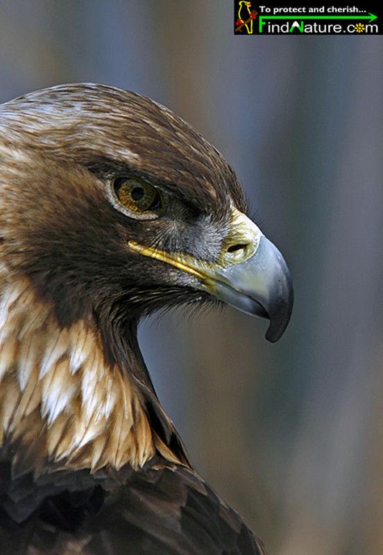 Aigle royal mila18004 - Comment dessiner un aigle royal ...