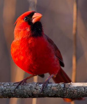 Cardinal rouge cardinalis cardinalis for Oiseau bec rouge