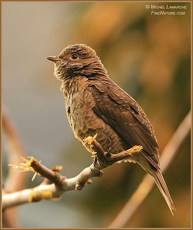 Female spangled cotinga
