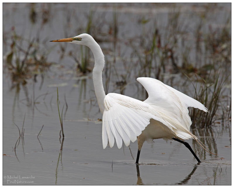Grande Aigrette adulte