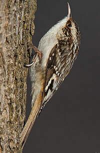 Grimpereau brun