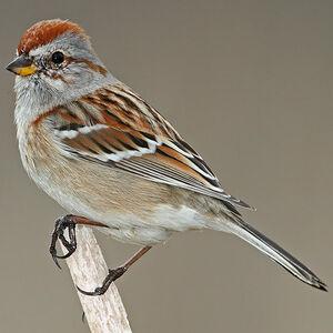 American Tree Sparrow Spizelloides Arborea