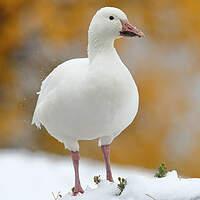 Oie des neiges