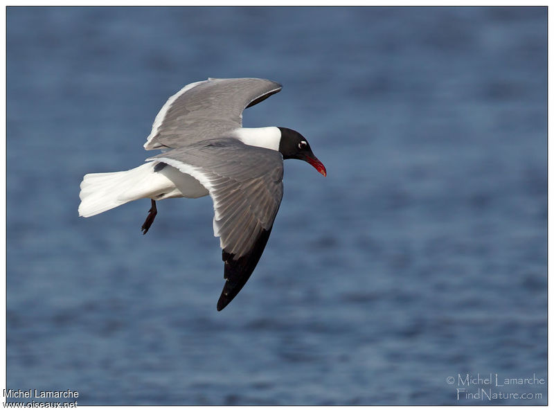 Laughing Gull adult, Flight