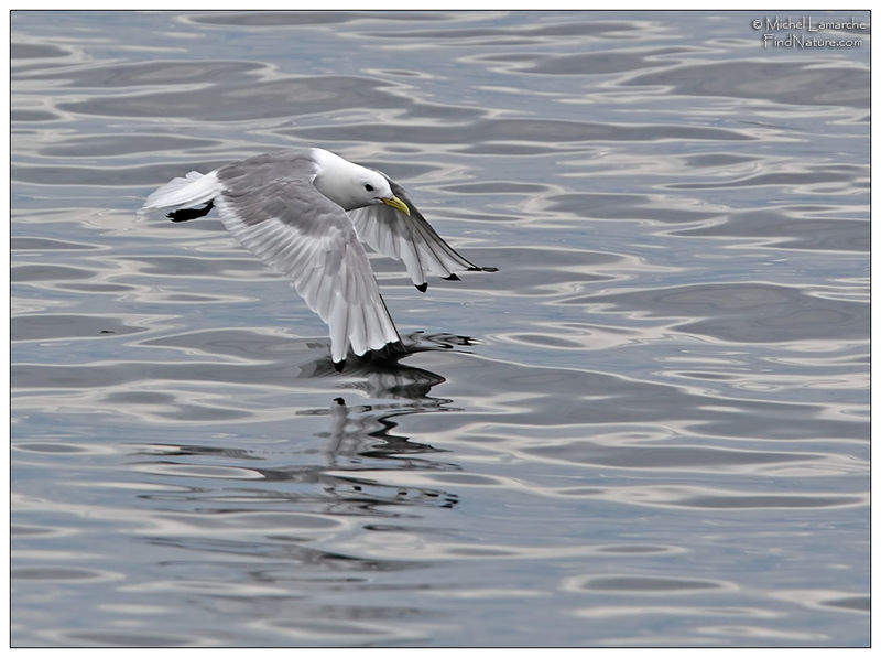 Mouette tridactyle adulte