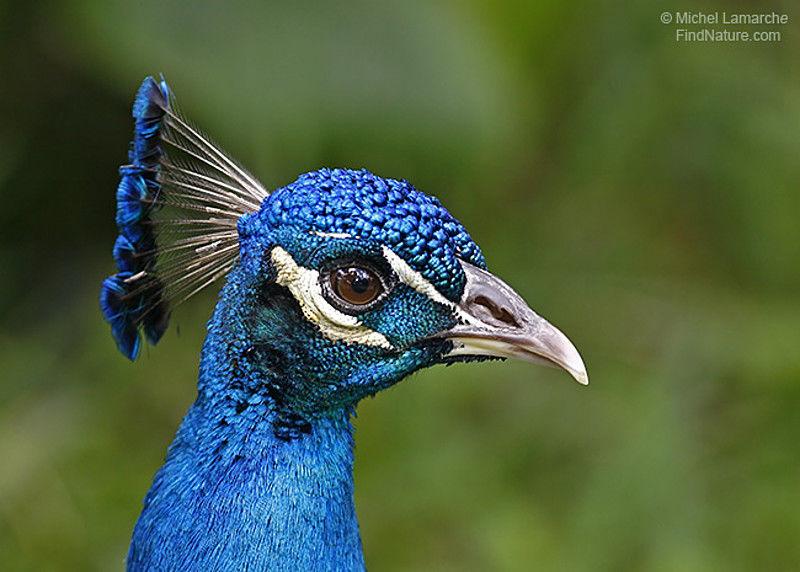 Paon bleu pavo cristatus - Couleur bleu paon ...