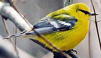 Paruline à ailes bleues