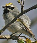 Paruline à ailes dorées