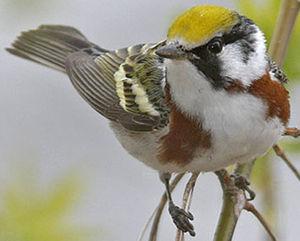 Paruline à flancs marron